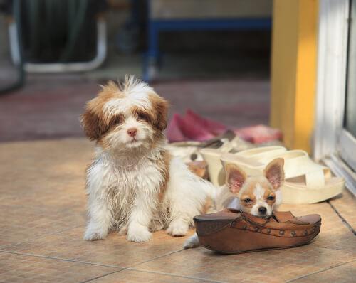 Ayakkabı çiğneyen köpek