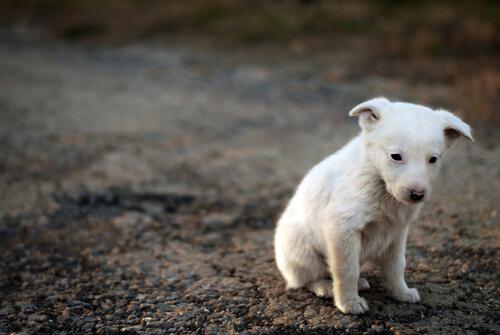 beyaz sokak köpeği