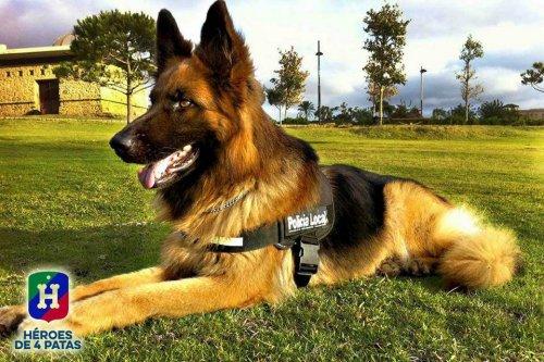 eğitimli polis köpeği