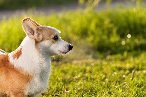 çimlerde küçük köpek
