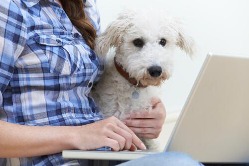 beyaz kıvırcık köpek