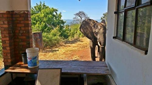 Kaçak Avcılar Tarafından Vurulan Filin Yardım İçin İnsanlara Koşması