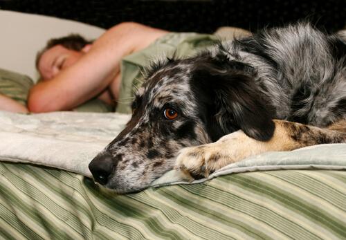 yatakta uyanık köpek