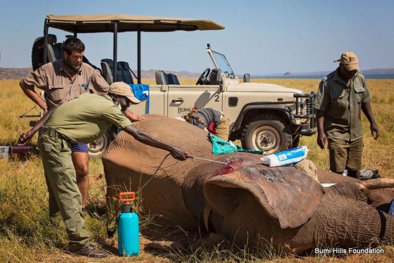 yaralı fil