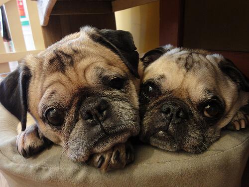 ikiz köpekler