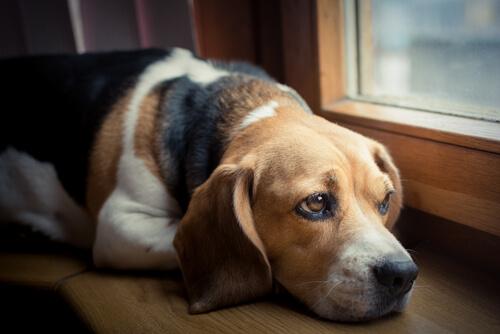 Pencereden dışarı bakan depresif bir Beagle