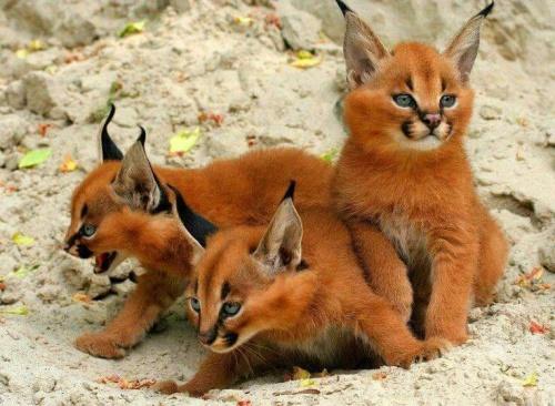 Hayvanlar Hakkında Bilinmeyenler: Caracal Nedir ?