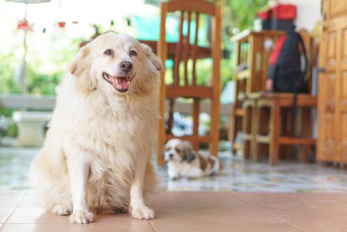 eklem iltihaplı köpek