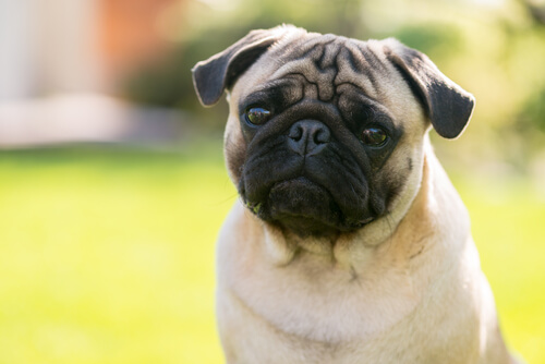 gözleri çıkıntılı köpekler