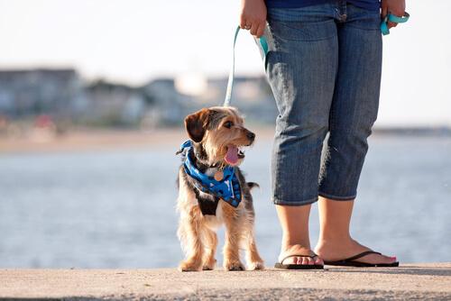 tasmalı yürüyüş yapan köpek