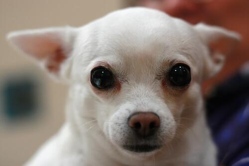Köpeğinizin Gözlerinden Çapakları Temizlemek