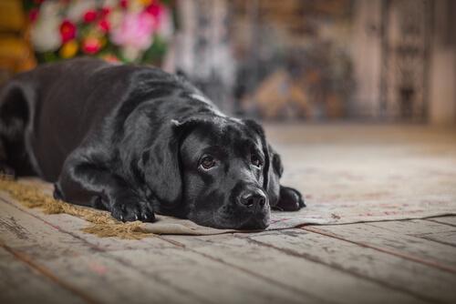 Köpeğinizin Yaşlandığını Nasıl Anlarsınız?