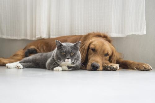 gri kedi ve köpek