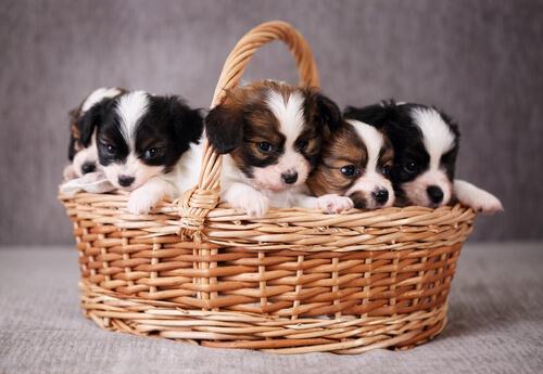 sepette yavru köpekler