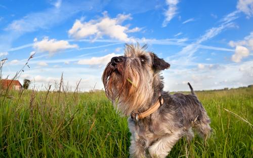 schnauzer köpeği