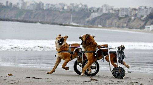 Peru'da Engelli Köpekler için Barınak Açılıyor