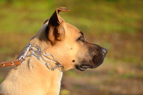 zincirli köpek