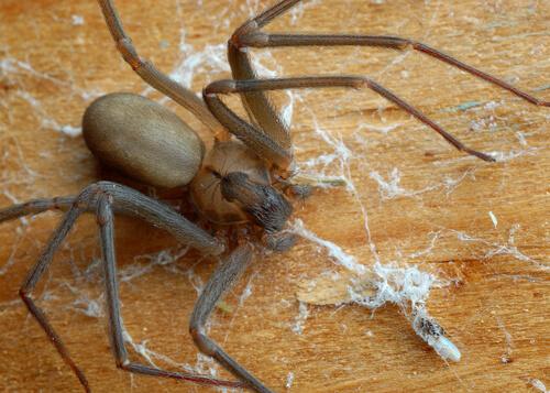 Şili'li Keşiş Örümceğine Karşı Dikkatli Olun