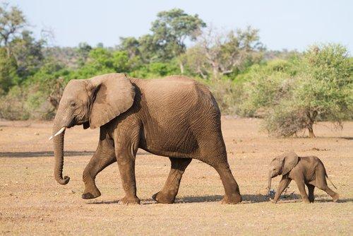 fil ve yavrusu ormanda