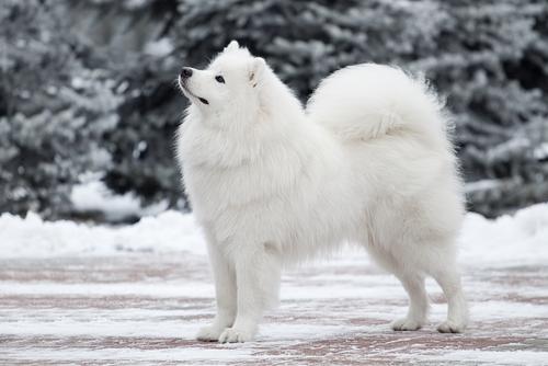 karda beyaz köpek
