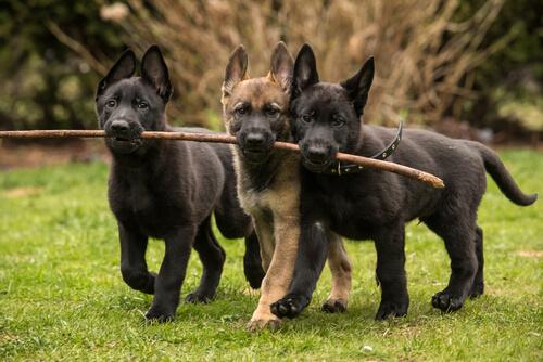 En Sevecen ve Sevgi Dolu 8 Köpek Cinsi