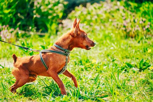 huysuz bir köpek
