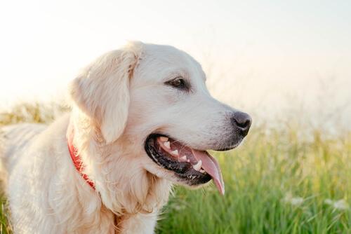 en sevecen köpek cinsleri