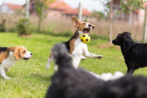 topla oynayan köpekler