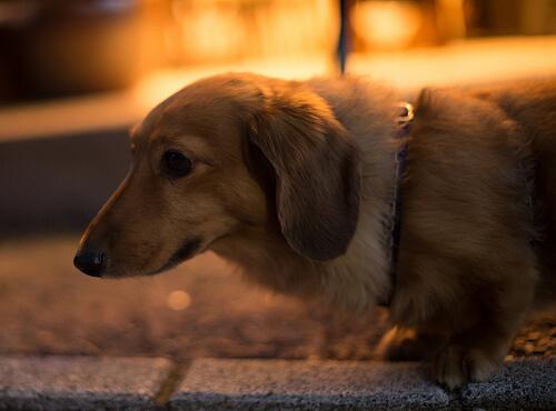 Havai Fişeklerden Korkan Köpeğinize Yardımı Olacak Bir İlaç