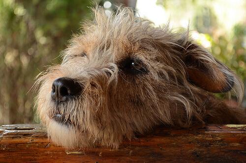 Köpekler Yaramazlıkları Yüzünden Suçluluk Duyar Mı?