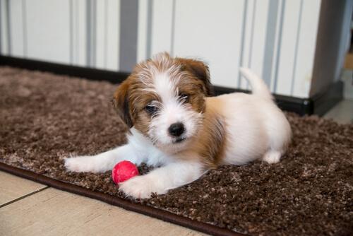 Yavru Köpek Eğitiminde Erken Uyarıcıların Önemi