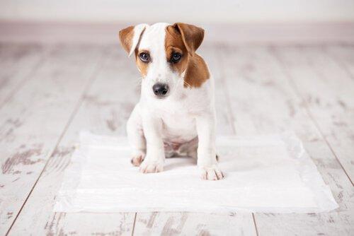 Köpeğinize Tuvaletini Gazeteye Yapmasını Öğretmenin yolları