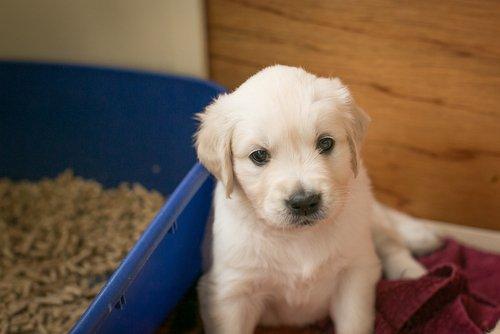beyaz yavru köpek