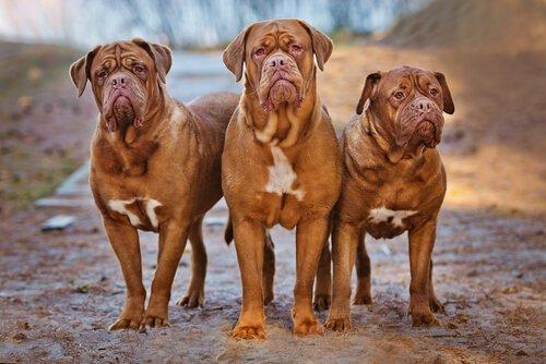 Büyük Fransız Mastiff Köpekleri