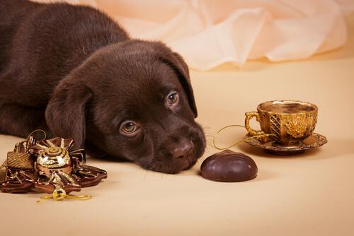 Köpek ve çikolata
