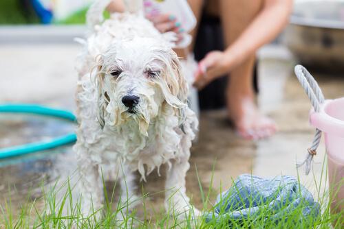 yıkanan köpek