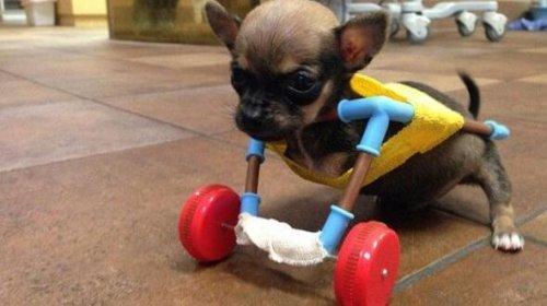 Minik Chihuaha Turbo Roo İle Tanışın