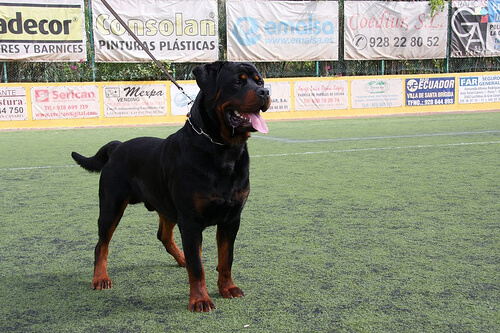 çim sahada duran alfa köpek