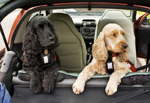 Araba Yolculuğu Giriş Dersleri: Köpek Emniyet Kemeri