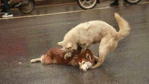 Kazadan Sonra Arkadaşını Kurtarmaya Çalışan Sadık Köpek