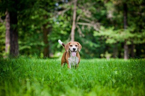 beagle cinsi köpek