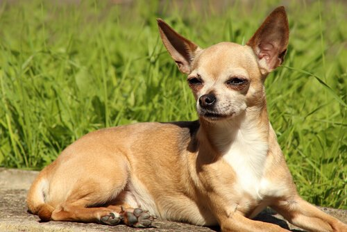 Chihuahua'lar Hakkında Bilmeniz Gereken Her Şey