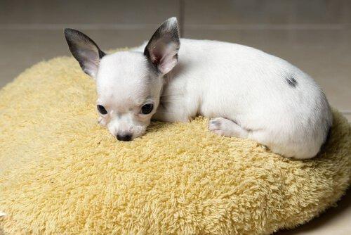 Chihuahua'lar Neden Titrer?