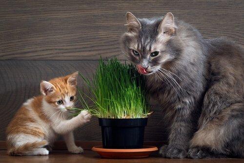 yavru ve yetişkin kedi