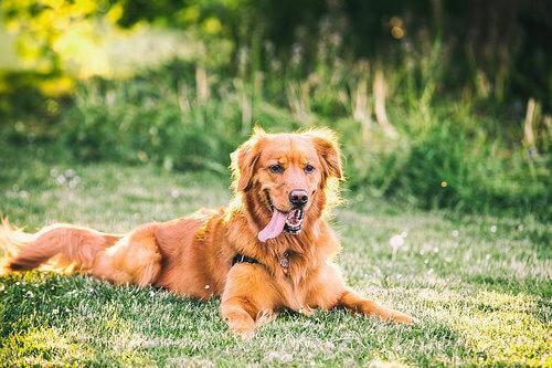 kahverengi dili dışarda köpek