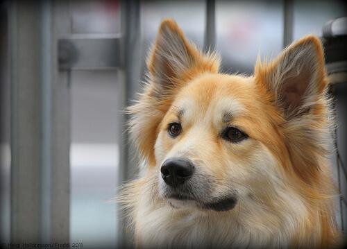 Köpeğinizin Kulağını Nasıl Temizlersiniz