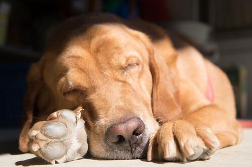 Köpekler Farklı Uyuma Şekillerini Nasıl Seçer