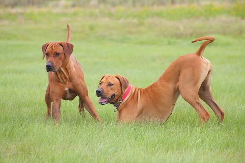 kahverengi iki köpek