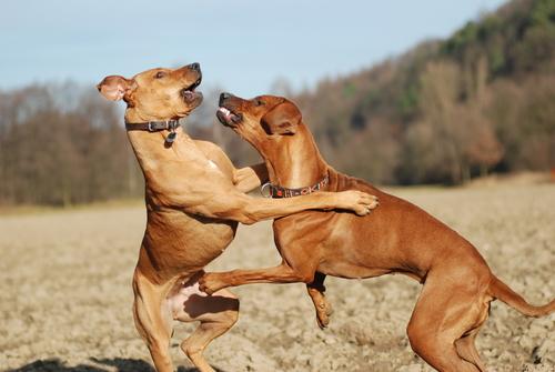 Alfa Köpekler ve Diğer Dominant Köpeklerin Özellikleri