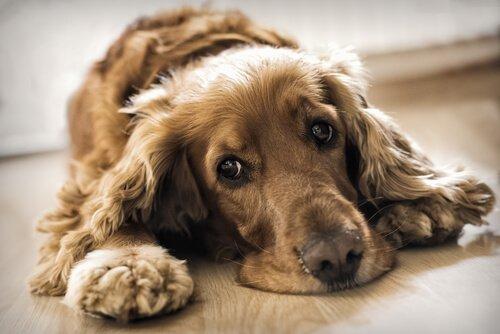 köpek yetiştiricisi